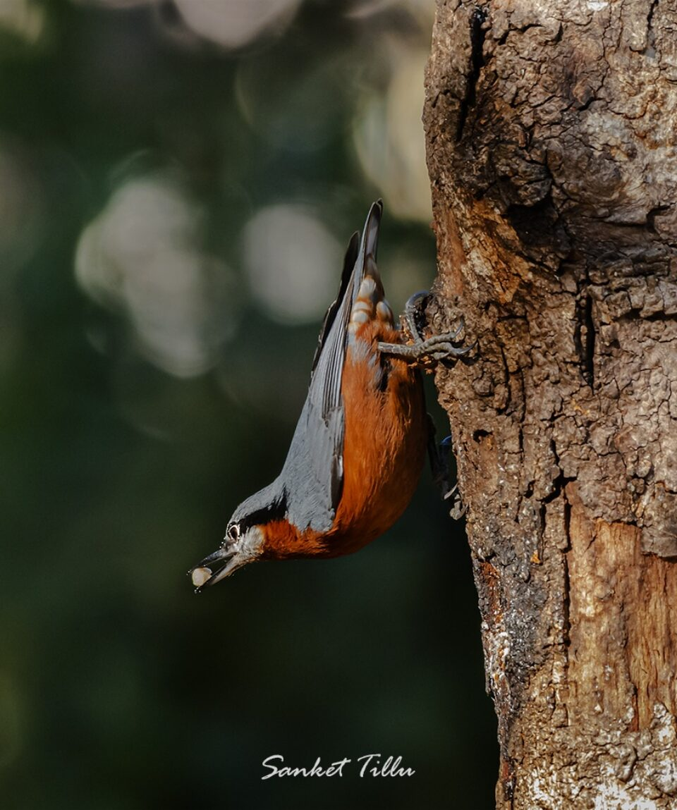 Chestnut bellied Nuthatch